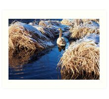 Swan On Lake 2 Art Print