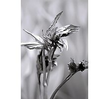 peony leaves unfurling Photographic Print