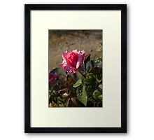 Spring Glow In Pink - a Sweetheart Rosebud With Dewdrops Framed Print