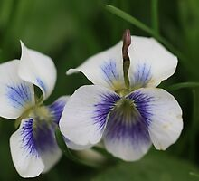 Twin Violets by Chris Coates