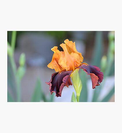 Orange and Mahogany Iris Photographic Print