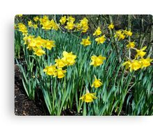Daffodils Growing In The Woods Canvas Print