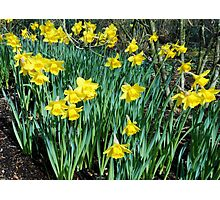 Daffodils Growing In The Woods Photographic Print