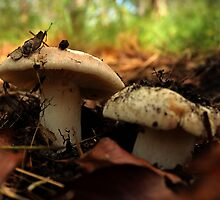 Mushrooms on the Forest Floor by myraj