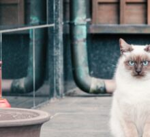 Cat, Adso, Temple Sticker