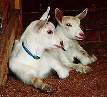 Two Baby Goats by Susan Savad