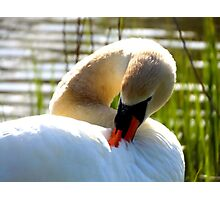 Swan keeping his feathers clean Photographic Print