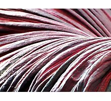 Blood red petal of the Titan Arum Photographic Print