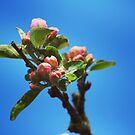 Apple blossom by Jonesyinc