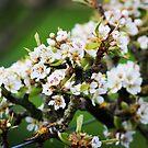 White Apple blossom by Jonesyinc