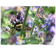 Michigan City, IN: Bumble Bee on Purple Flowers Poster