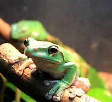 Allenwood, PA: Green Tree Frog by ACImaging