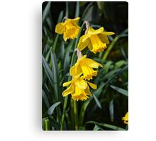 3 Daffodils on top of eachohter. Canvas Print
