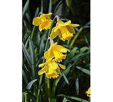 3 Daffodils on top of eachohter. Photographic Print