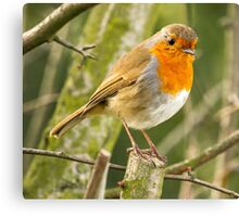 Beautiful Robin Redbreast Bird Canvas Print