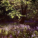 Bluebell Woods by Dale Rockell