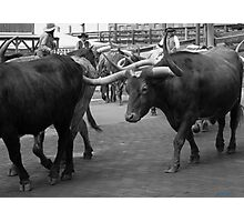 Cattle Drive 7 Photographic Print