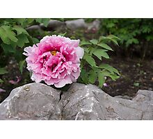 Peony on the Rocks - the Marvels of Spring Photographic Print