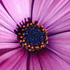 Blue Eyed Daisy by rom01