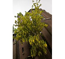 Beautiful Golden Chain Tree in Full Bloom Photographic Print