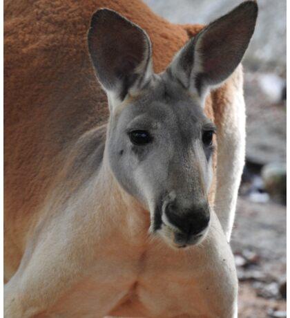 Red Kangaroo Sticker
