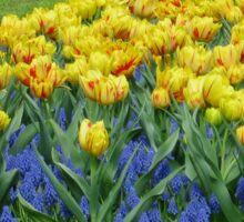 Tulips and Grape Hyacinths - Keukenhof Gardens Sticker