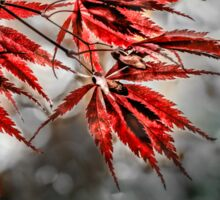 Japanese Red Maple Leaves  Sticker