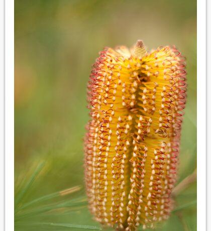 0805 Banksia Sticker