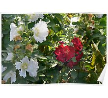 Red and white flowers in the park. Natural background. Poster