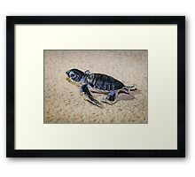 Baby Green Turtle on his way to Survival Framed Print