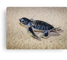 Baby Green Turtle on his way to Survival Canvas Print