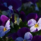 Little viola faces by Heather Thorsen
