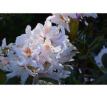 White flowers (1) Photographic Print