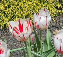 Spring Tulips by Imagery