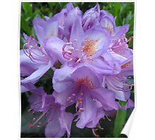 (3) Hampstead Purple, Lilly Delight Poster