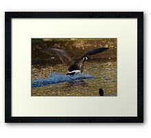 Canada Goose Splash Down Framed Print