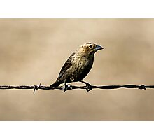 Female Brown-headed Cowbird on Barbed Wire Photographic Print