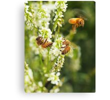 Honey Alfalfa Canvas Print