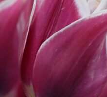 Purple Tulips Sticker