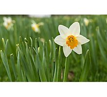 Lone Daffodil in spring Photographic Print