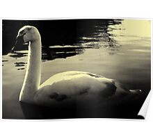 lonely Swan Black And White Poster
