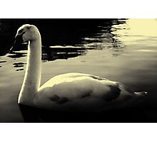 lonely Swan Black And White Photographic Print