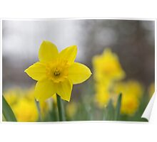 A lone daffodil in spring Poster