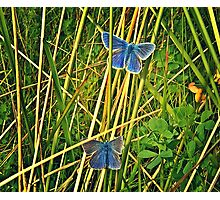 The Boys in Blue, Common Blue males, Bull Island Photographic Print