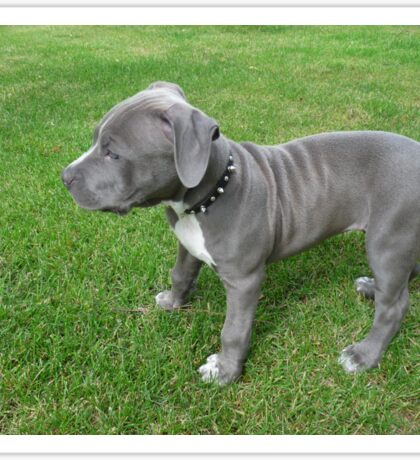 Gorgeous Baby, Blue Pit Bull Puppy Dog With Wrinkles Sticker