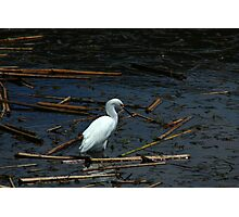 White Snowy Egret Photographic Print
