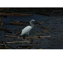 Snowy Egret Standing in Water Photographic Print