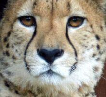 Cheeta Sticker