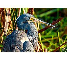 Tricolored Heron at Wakodahatchee Photographic Print