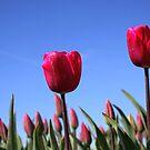 Red Tulips in Blue Sky by Jo Nijenhuis